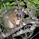 Possum.......who are you calling a menace.....??? by Roy  Massicks