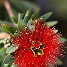 Australian Red in Bloom by Joy Watson
