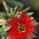 Australian Red in Bloom by Joy Watson