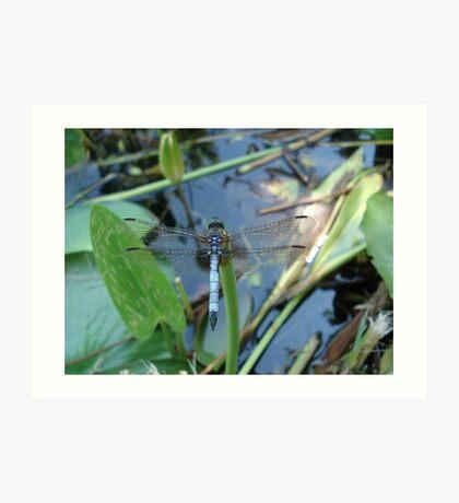 Blue Dasher on Pickerel Weed Art Print