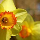 Yellow flower in my garden. by Elena Martinello