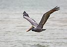 Brown Pelican in Flight by Kenneth Keifer