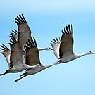 Four Sandhill Cranes fly in Unison over Eastern Washington USA by DawsonImages