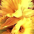 Daffodils In Spring by SexyEyes69