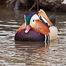 Mandarin Duck  2 by lloydsjourney