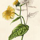 Inula (watercolour on paper) by Lynne Henderson