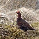 A  Roadside Grouse by Jamie  Green
