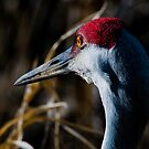 Sandhill Crane: A Different Perspective by David Friederich