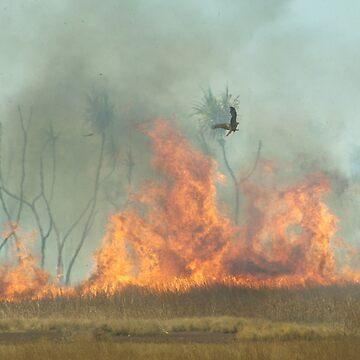 Hunting Kite - Fire front feast. by kestrel