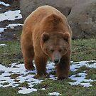 Grizzly Bear Montana by AnnDixon