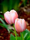 Tulips for Spring by Beth Brightman