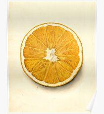Vintage Illustration of a Grapefruit Poster