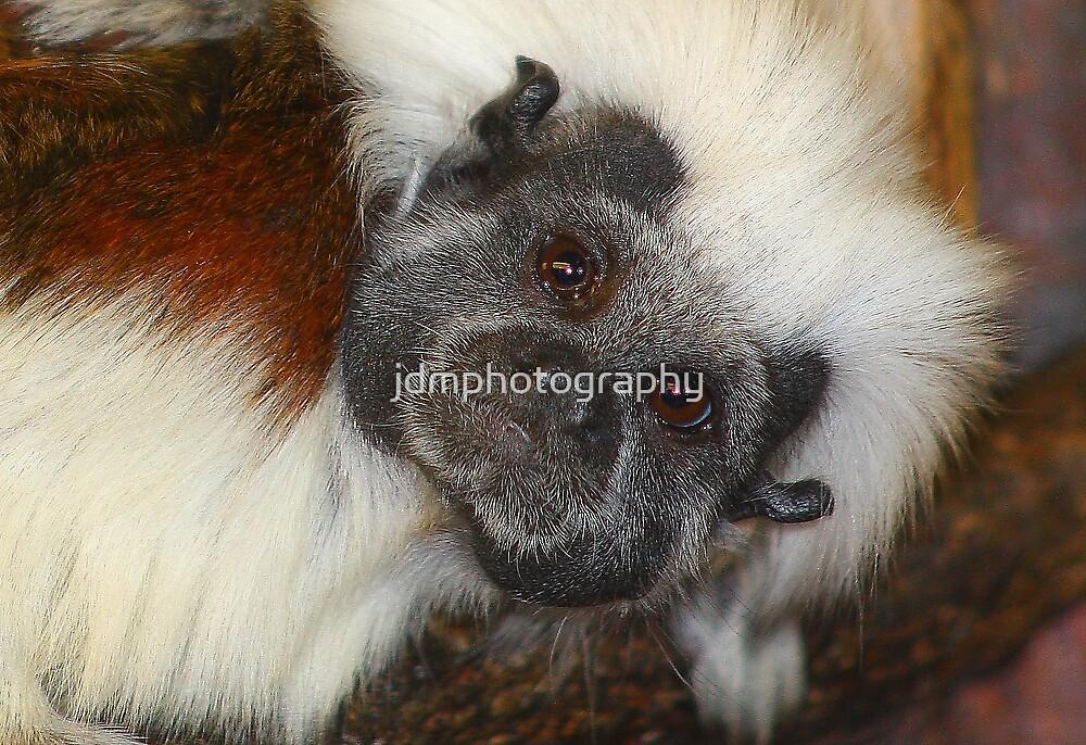 Cottontop Tamarin (critically endangered) by jdmphotography