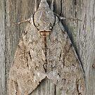 Australian Privet Hawk Moth by Andrew Trevor-Jones