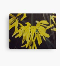 Forsythia Flowers Up-Close Canvas Print