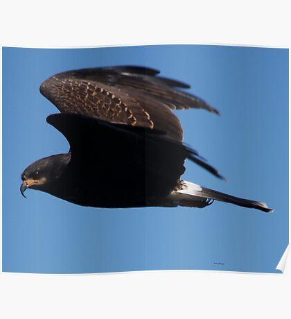 Snail Kite Poster