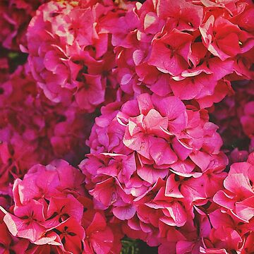 Bright Bold Hydrangeas by vickylewisphoto