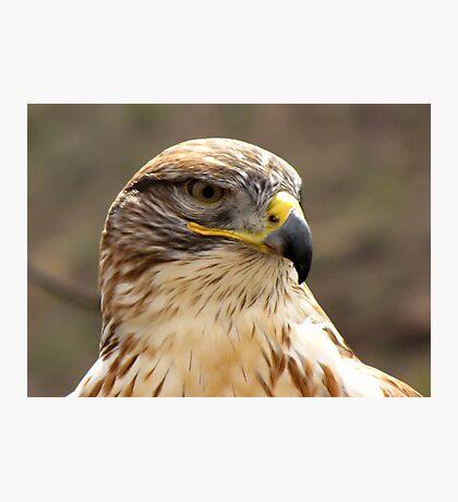 Ferruginous Hawk  Photographic Print