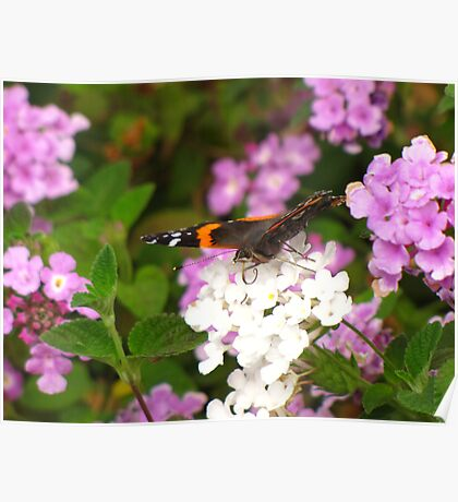 Butterfly ~ Red Admiral Poster