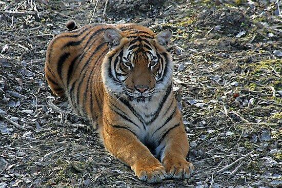 Sirius Malaysian Tiger by Fran0723