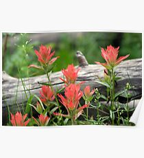 Red Indian Paintbrushes Poster