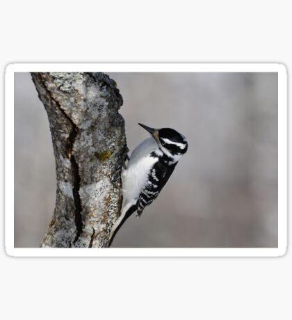 Hairy Woodpecker (female) Sticker