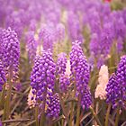 Skagit Valley Muscari by strangecharmart