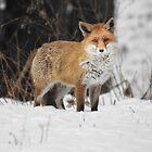 Fox encounter by Yool