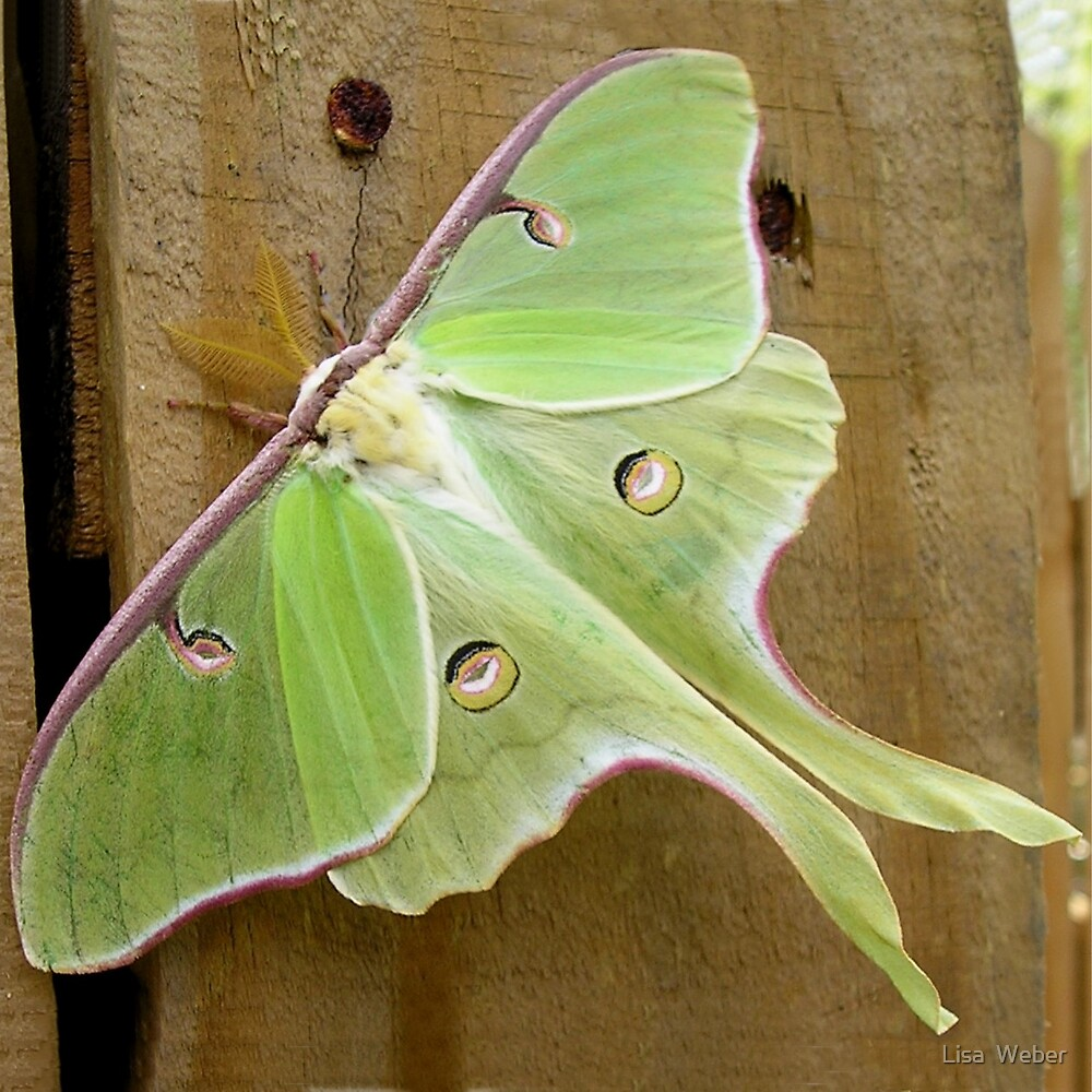 The Luna Moth by Lisa  Weber