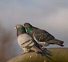 Pigeon Preen by Nigel Bangert