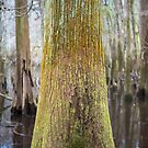 Colors of the Swamp Tupelo – Congaree National Park, South Carolina by Jason Heritage