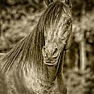 Arabian Stallion by Sharon Morris