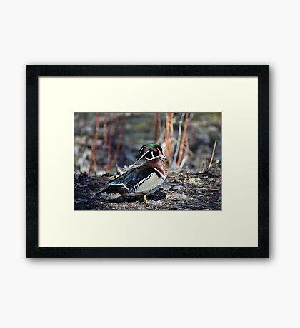 Male Wood Duck Framed Print