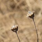 Thistle Seed Pods Open by Deb Fedeler