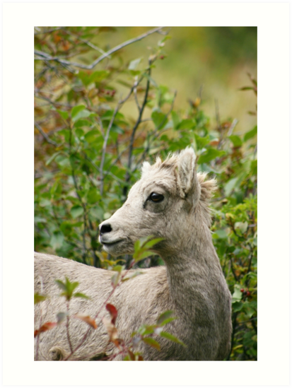 Juvenile Rocky Mountain Sheep by Alyce Taylor