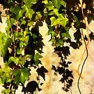 Ivy Leaves by jean-louis bouzou