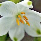 Galanthus nivalis 'Viridapice' by Astrid Ewing Photography