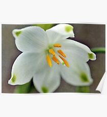 Galanthus nivalis 'Viridapice' Poster