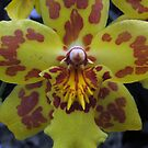 Dancing Lady Orchid by psphotogallery