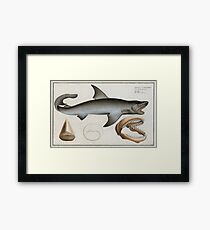 Vintage Illustration of a Great White Shark (1785) Framed Print