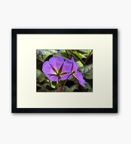 Glowing Rozanne Geranium Framed Print