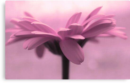 pink petals by Angel Warda