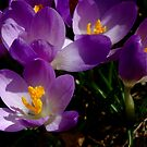 First flowers of spring by Brad Chambers
