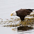 Bald Eagle in Salt Water by David Friederich