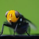 Yellow faced fly close by Susan Kelly