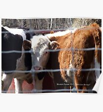Mo's View of Bodacious Bovines  Poster