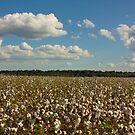 Land of Cotton by steini