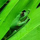 Green Tree Frog by Steven Guy