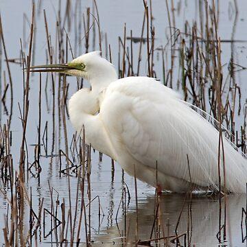 Great Egret by VoluntaryRanger