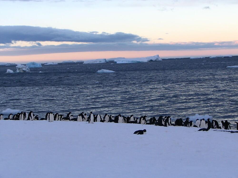 Adelie Penguin Sunset by josilver